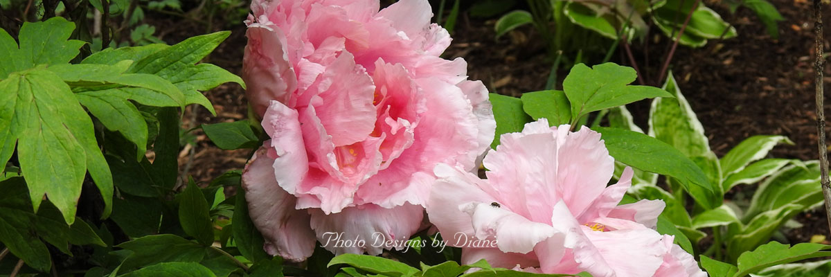 Photo Designs By Diane - flowers